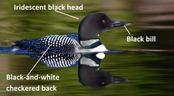 Adult-Common-Loon-male-or-female