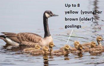 Canada-Goose-goslings