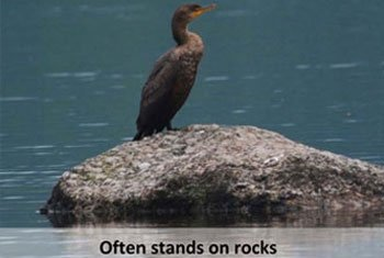 Double-crested-Cormorant-on-rock