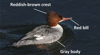 Female-Common-Merganser