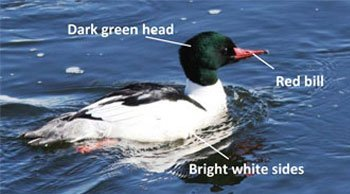 Male-Common-Merganser