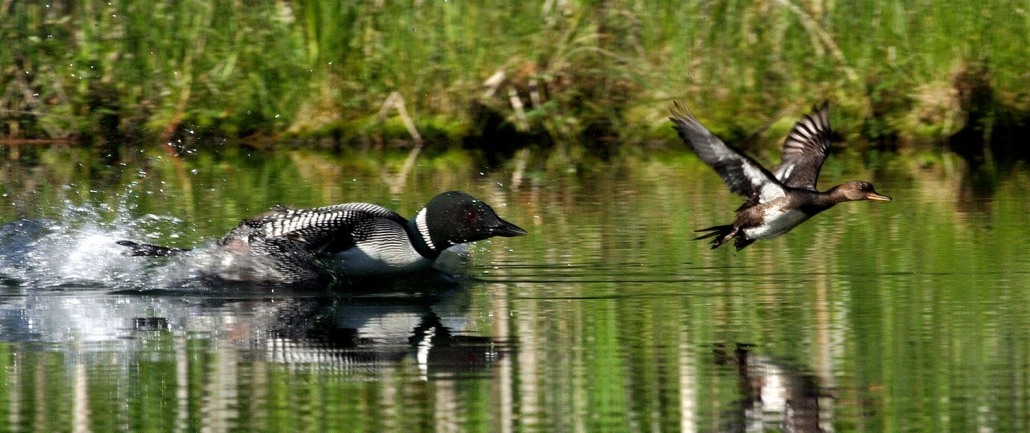 Loon behavior