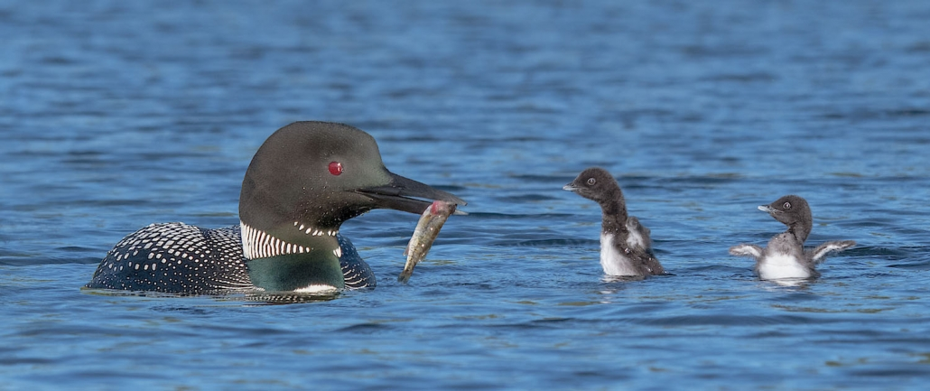 Loon Chick Development - RickLibbey