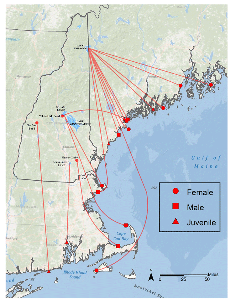 Banded New Hampshire loon recoveries or re-sightings on the New England coast (1993-2013).